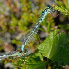 Plan National Actions Odonates | Coenagrion lunulatum