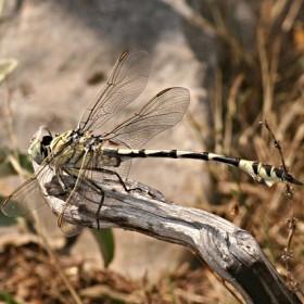 Plan National Actions Odonates | Lindenia tetraphyla